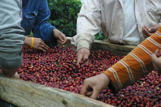 Hand sorting cherries in Cedral, Costa Rica