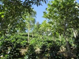 Planted coffee mountains in Santa Maria de Dota in Costa Rica's prized Tarrazu region