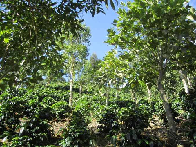 Miguel's farm is Rainforest  Alliance certified. It has lots of (shady) trees and birds.