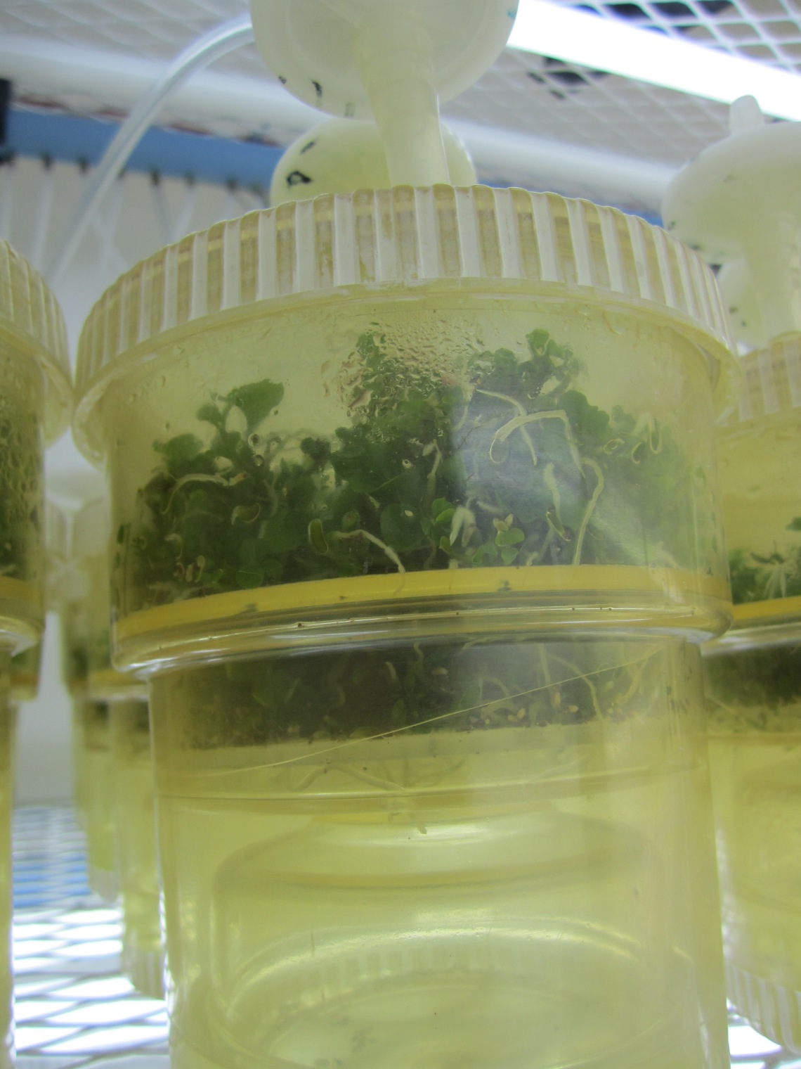 Hybrid plantlets generated via somatic embryogenesis