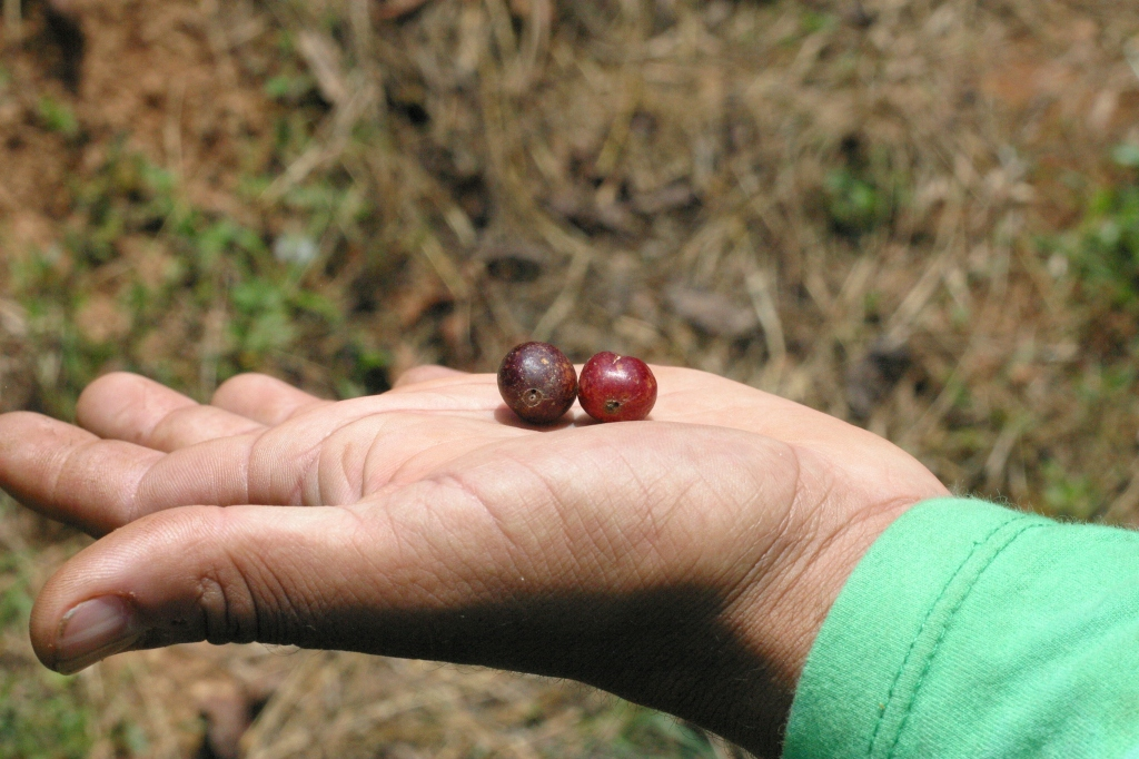 Broca bore holes ruining perfectly good cherries...