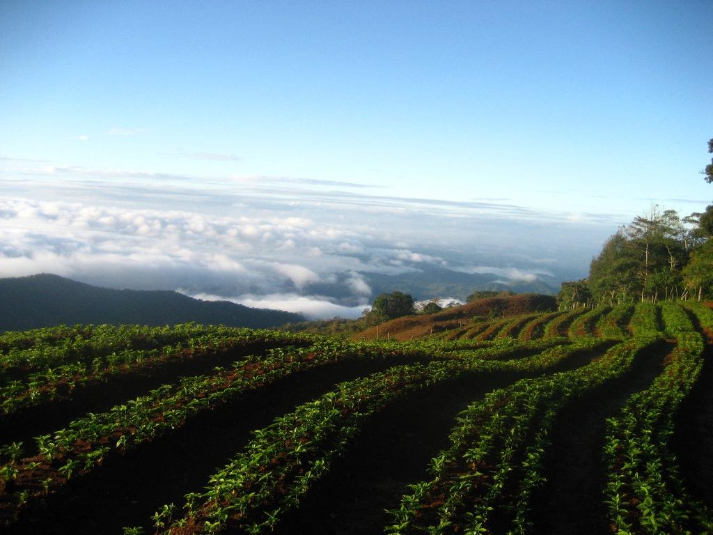 Coffee tree seedlings ready for transplant