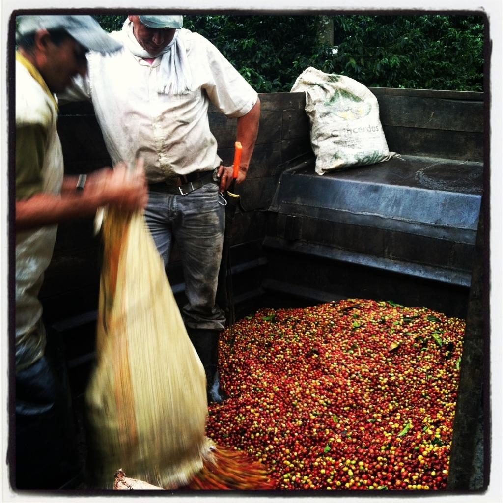 Measuring fresh picked coffee cherries at La Meseta