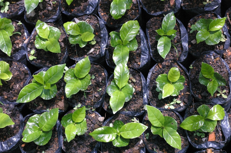 "seedlings translated to the ""almacigo"" nursery"