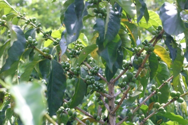 coffee trees produce green cherries...