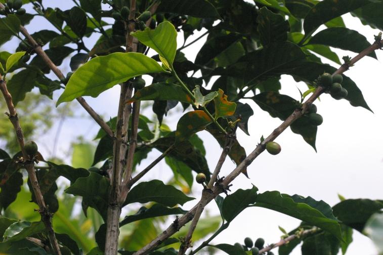 leaf rust (roya)