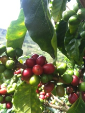 Cherries ripening in San Isidro de Acevedo, outside of Pitalito in Huila