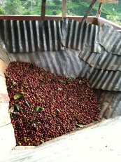 cherries in the hopper waiting to be dupulped