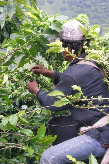 Jair picking by hand in Santa Barbara, Antioquia