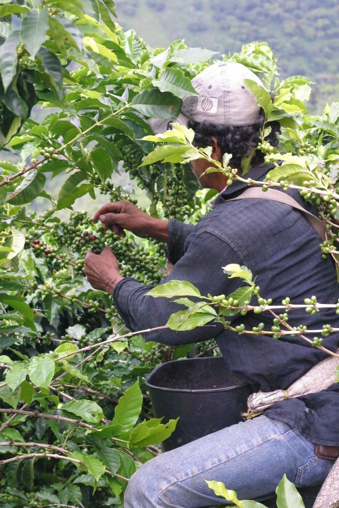 Jair picking by hand in Santa Barbara, Antioquia