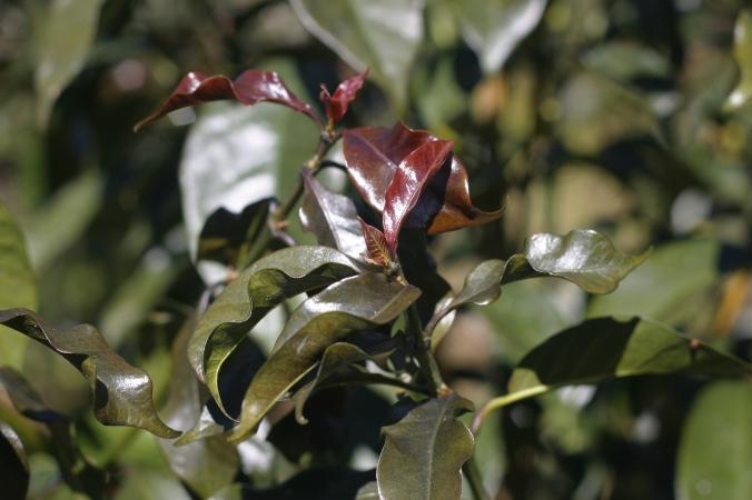 Purpuracenas...purple coffee plant; a specialty of Coffea Diversa's coffee wonderland