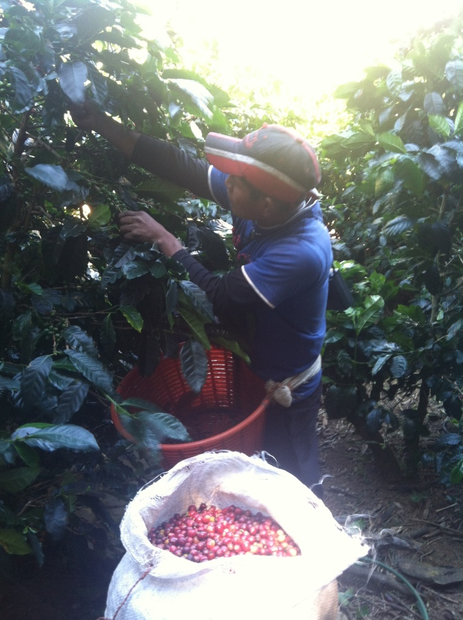 Cherry by cherry, pickers struggle to make a living, but so do their employers