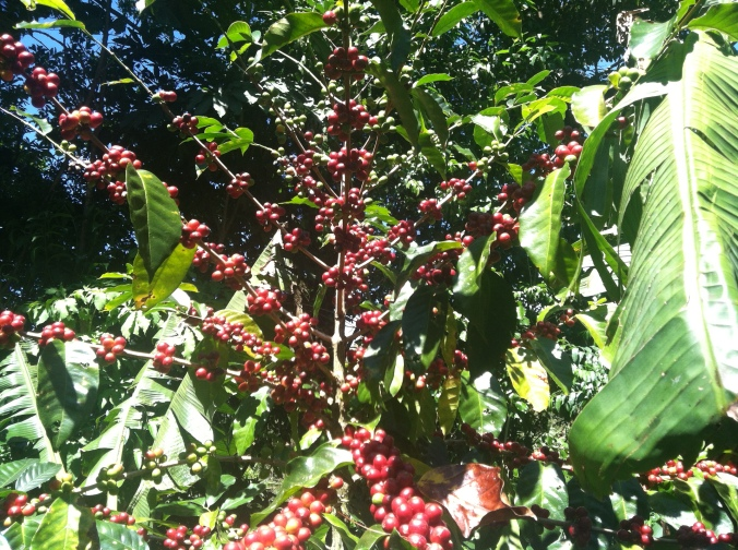 Coffee porn on Finca La Milagrosa. This coffee leaves Panama to traverse the world