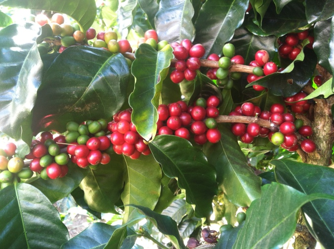 Munchable coffee cherries