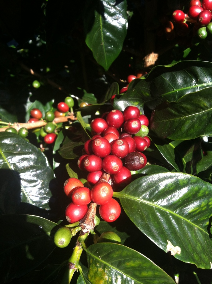 Catuai? Geisha? Coffee. Does it matter what varietal it is when the cherries themselves taste like apricot and peach?