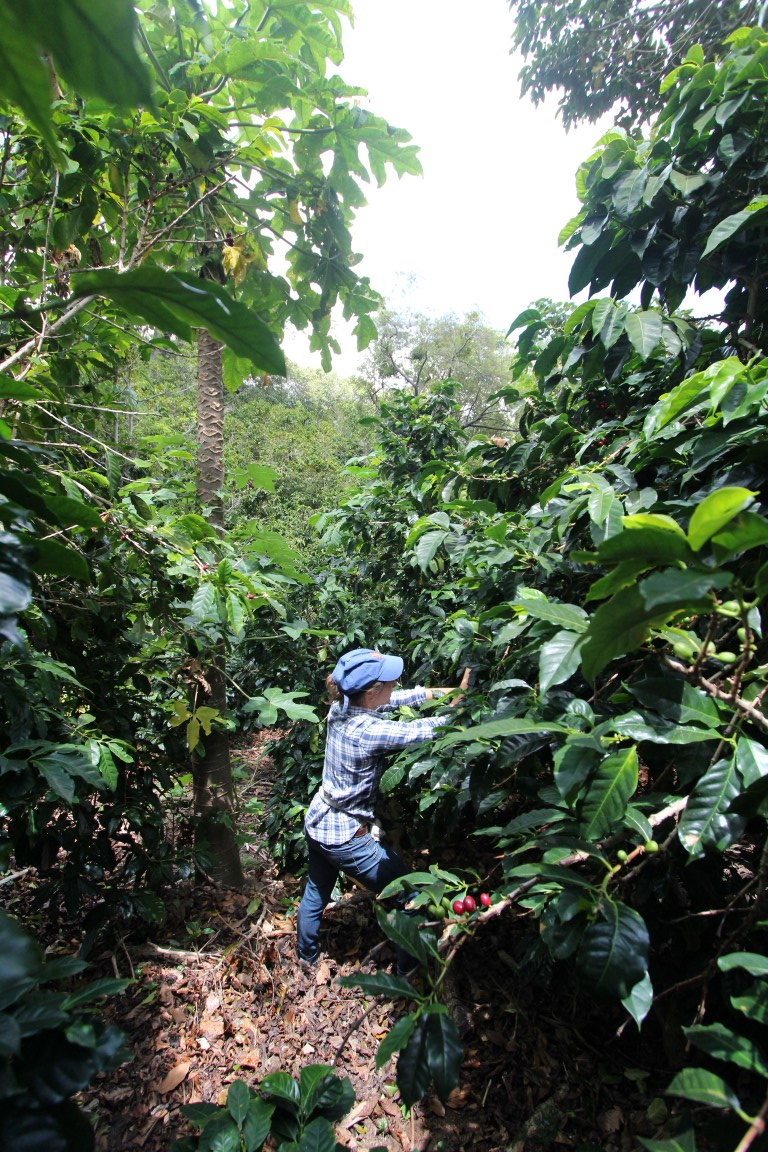 Picking coffee on Finca Elida in Panama, one of the farms PT's sources from. Photo credit: Marc Peterson