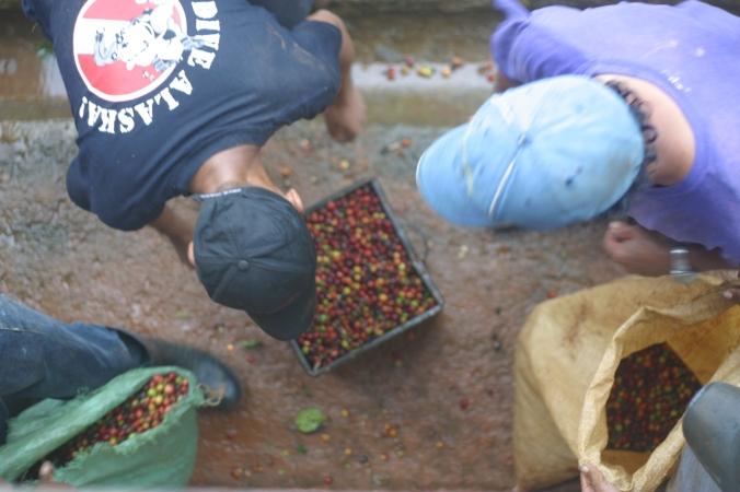 Measuring pickers' picking at Potenciana Cafe, fair as fair can be
